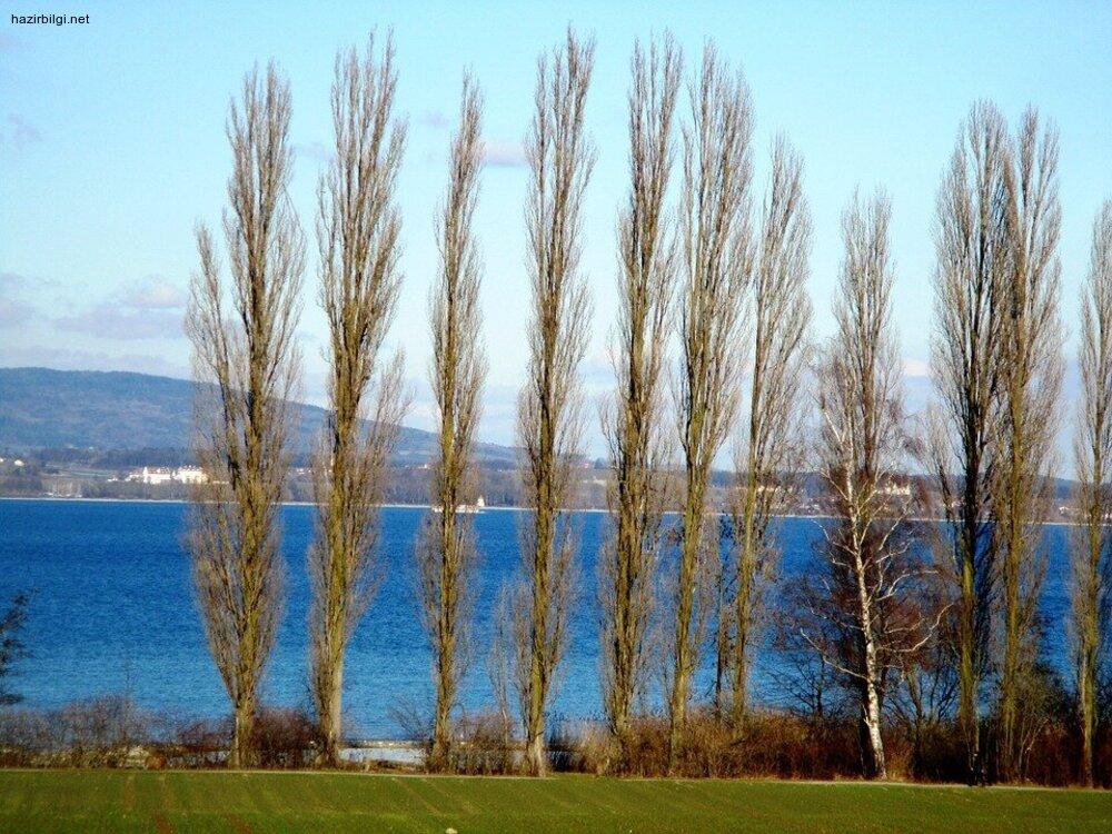 Kavak Ağacı ve Faydaları Nelerdir?